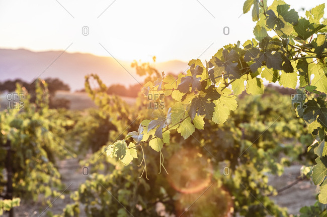 Grape vines lit from behind by setting sun on vineyard in Northern California