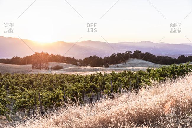 Grape vines on gently sloping hillside on vineyard in Northern California