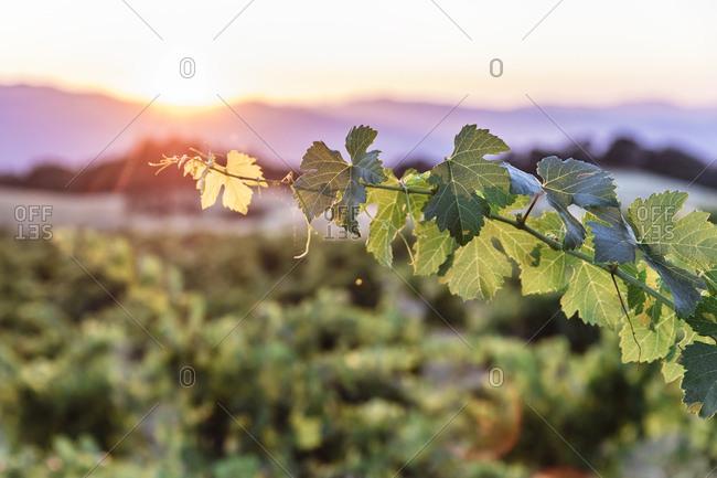 Single grape vine illuminated by setting sun on vineyard in Northern California