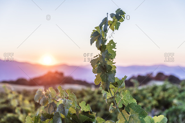Single grape vine reaching up to the sky illuminated by setting sun on vineyard in Northern California