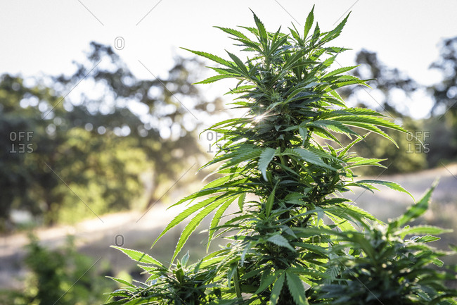 Healthy cannabis plant growing on farm in Northern California