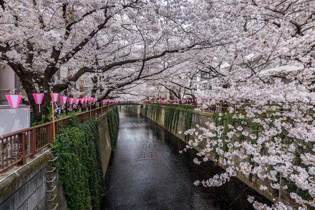 Tokyo, Japan - March 27, 2018: Cherry trees in full bloom blocking the sky above the Meguro river in Tokyo
