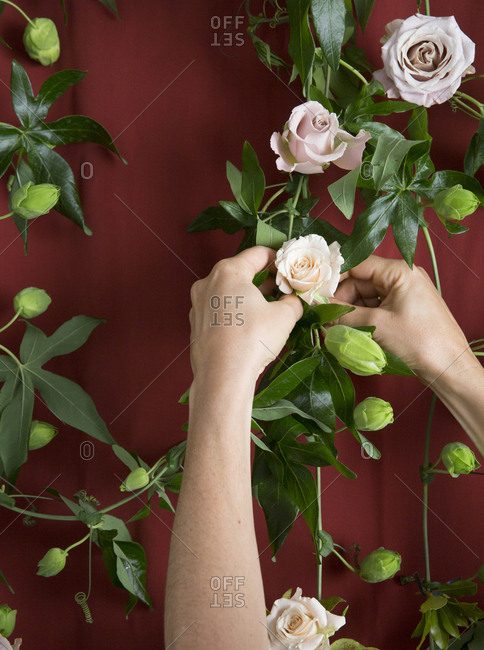 Hands picking fresh blooming roses from vine