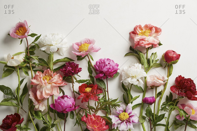 Different size and color peonies arranged on clean backdrop