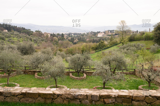 Olive trees in rural Tuscany
