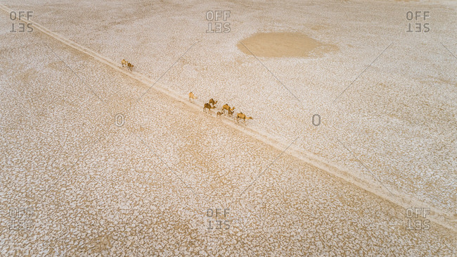 Aerial view of a group of camels walking in Mudcracks in Abu Dhabi desert, U.A.E.