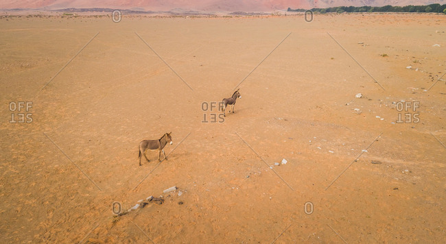 Aerial view of two donkeys in the desert of Sharjah, U.A.E.