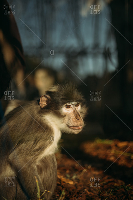Small alert monkey turned towards sunlight