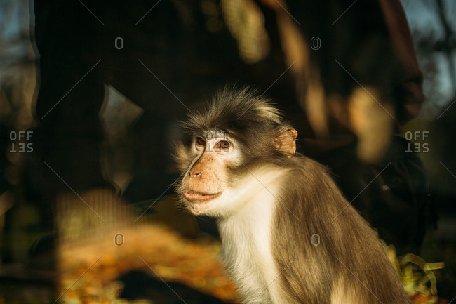 Calm monkey sitting in setting sunlight outside