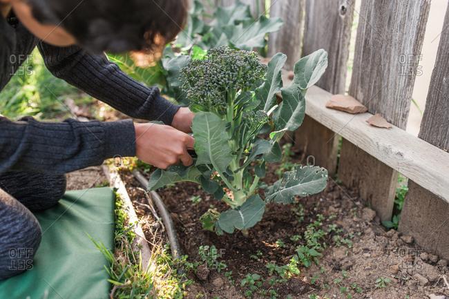 Boy examining broccoli plant in yard