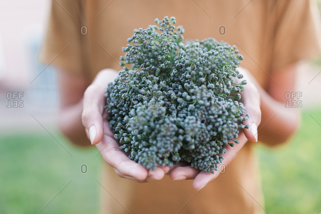 Front view of hands showing off backyard broccoli