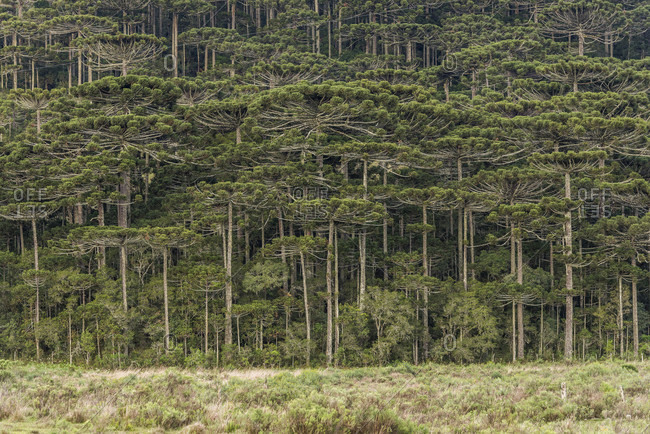 Araucaria pine trees (Brazilian Pines) in Cambara do Sul, Rio Grande do Sul, Brazil