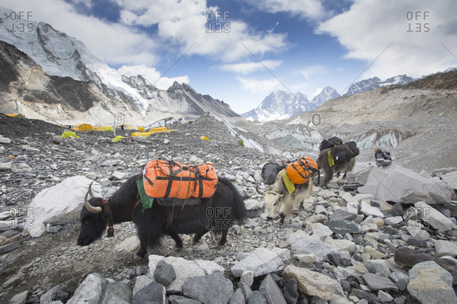 April 18, 2017: Yaks are entering Everest base camp (5364 meters , 17,598 ft) after carrying loads of climbers all the way from Lukla. The trek to Everest Base Camp (EBC) is possibly the most dramatic and picturesque in the Nepalese Himalaya. Not only will you stand face to face with Mount Everest, Sagarmatha in Nepali language, at 8,848 m (29,029 ft), but you will be following in the footsteps of great mountaineers like Edmund Hillary and Tenzing Norgay. The trek is scenic and offers ever-changing Himalayan scenery through forests, hills and quaint villages. A great sense of anticipation builds as you trek up the Khumbu Valley, passing through intriguing Sherpa villages, Tibetan monasteries, all towered over by some of highest and most stunningly beautiful mountains of the world.