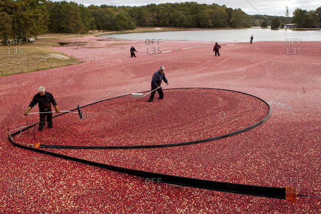 October 13, 2013: A Cape Cod cranberry grower and his crew rack up cranberries with booms after flooding a bog in Brewster, Massachusetts, USA