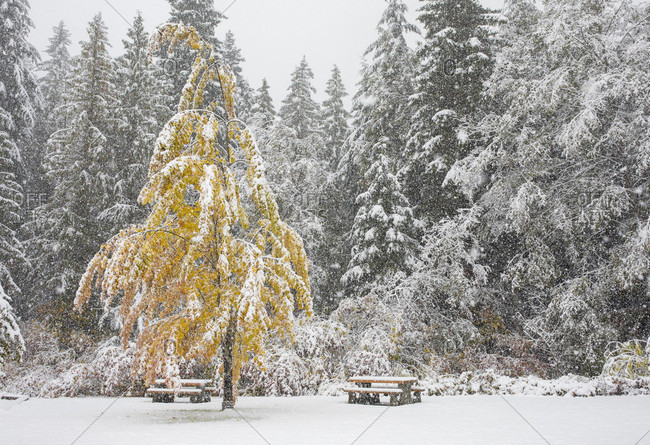 Trees with fall foliage get covered with snow before all the leaves have fallen for the season during a surprise early season storm in Whistler, British Columbia, Canada