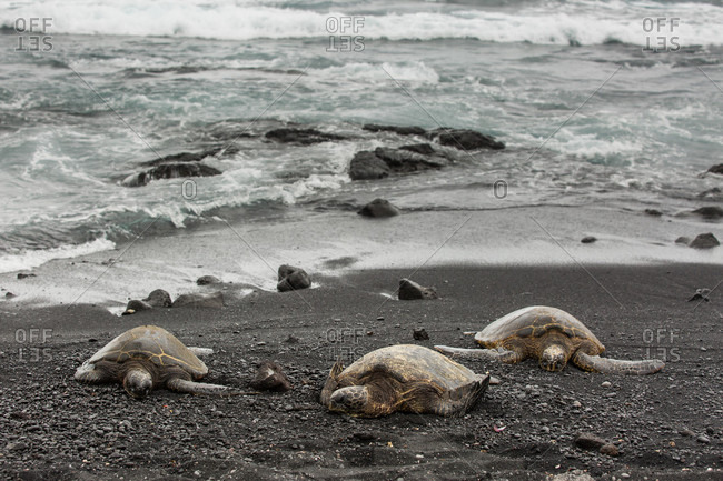 Green turtles rest on the shore, on the black sand at Punaluu Black Sand Beach Park Hawaii, on the Big Island of Hawaii.