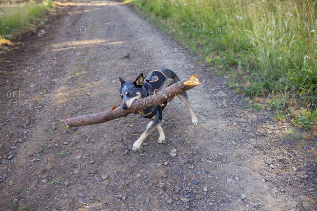 Blue Heeler with a huge stick that is clearly too big for it to carry well.
