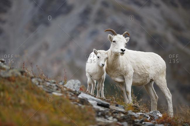 Dall sheep or thinhorn sheep (Ovis dalli) ewe and lamb, Denali National Park, Alaska, USA