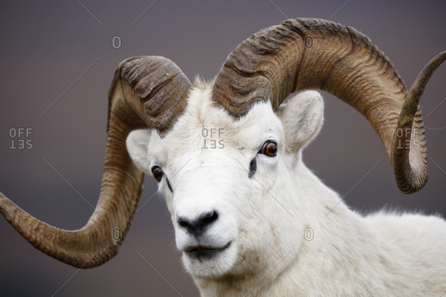 Dall sheep or thinhorn sheep (Ovis dalli) ram headshot, Denali National Park, Alaska, USA
