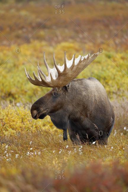 Bull moose (Alces alces) in tundra, Denali National Park, Alaska, USA