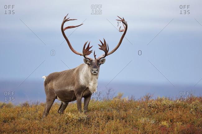 Reindeer or caribou (Rangifer tarandus) bull in tundra, Denali National Park, Alaska, USA