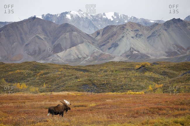 Bull moose (Alces alces) in tundra with mountain range in background, Denali National Park, Alaska, USA