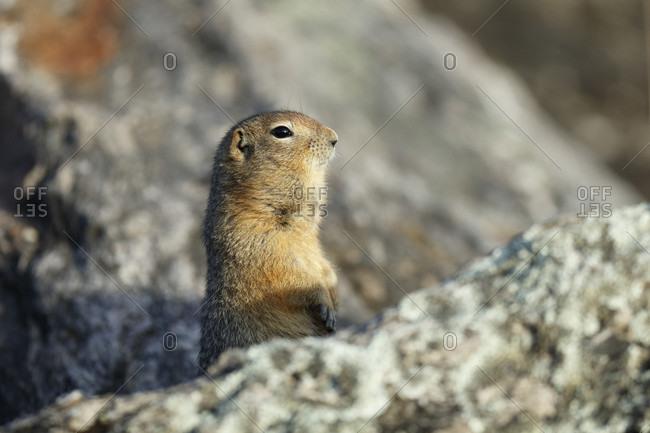 Arctic ground squirrel (Spermophilus parryii or Urocitellus parryii) between rocks, Denali National Park, Alaska, USA