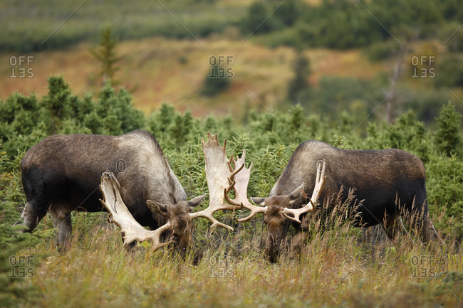 Two bull moose (Alces alces) fighting, Denali National Park, Alaska, USA
