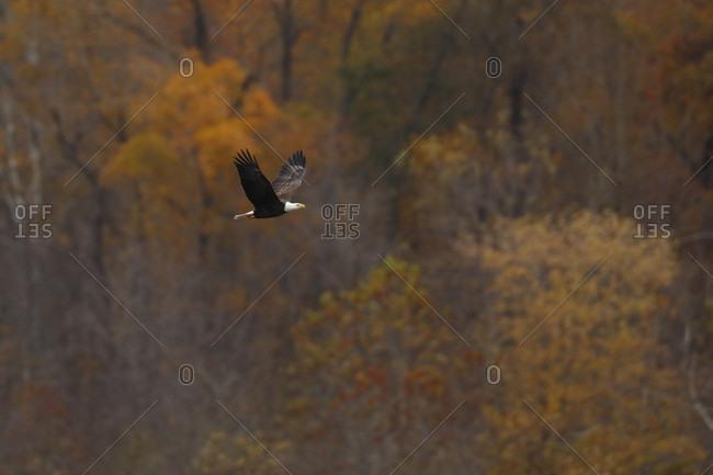 Bald eagle (Haliaeetus leucocephalus) flying against forest in autumn, Maryland, USA