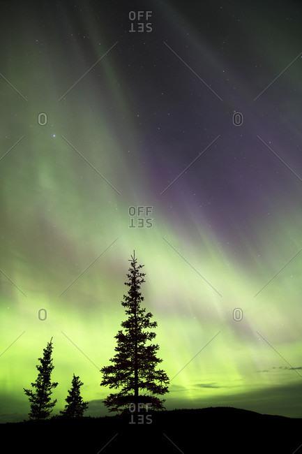 Aurora borealis over silhouettes of evergreen trees, Denali National Park, Alaska, USA