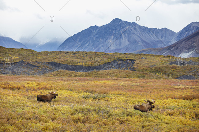 Two bull moose (Alces alces) in meadow with mountains in background, Denali National Park, Alaska, USA