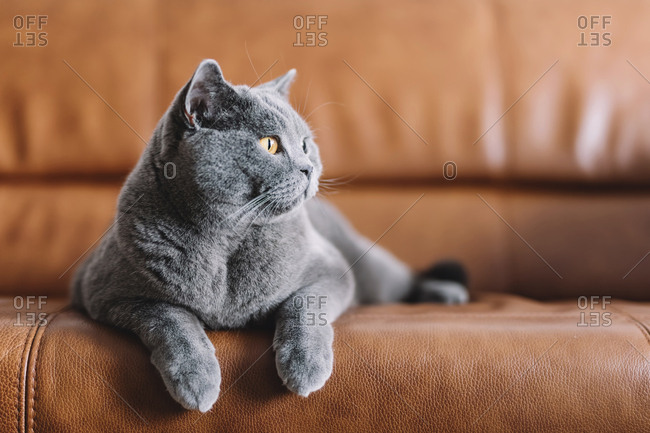 Close-up of Chartreux cat looking away while relaxing on sofa at home