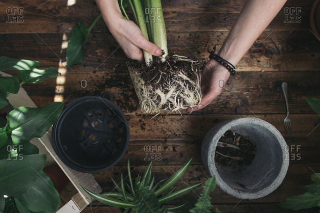 Woman repotting a peace lily