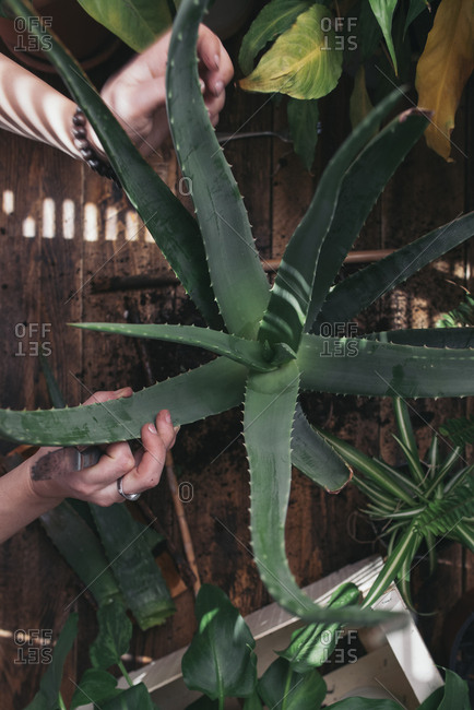 Woman caring for an aloe vera