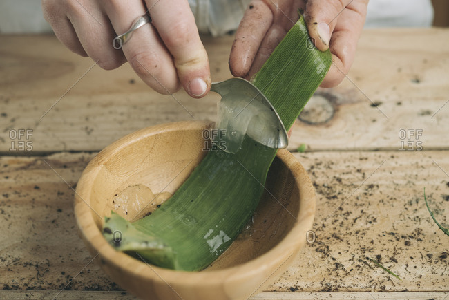 Close-up of woman removing the pulp of the pods of an aloe vera with a spoon
