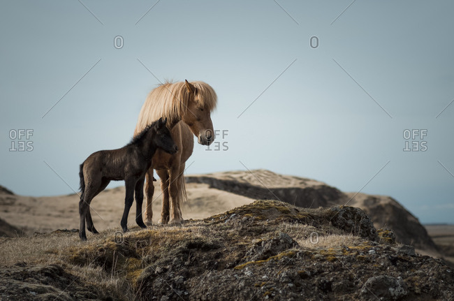 Iceland- Icelandic horses- mother and young animal