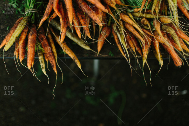 Bunches of fresh raw carrots
