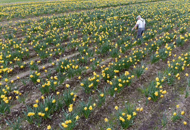 British Columbia, Canada - April 20, 2018: Farmer standing in a field of daffodils for harvest