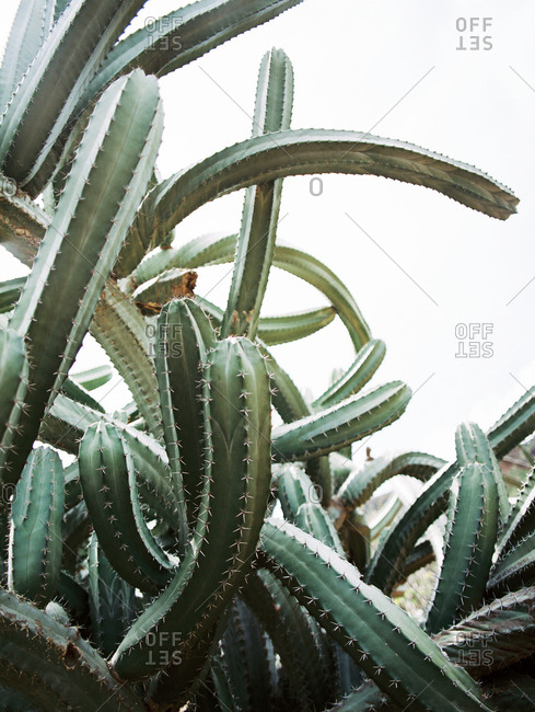Detail of cacti growing in all directions