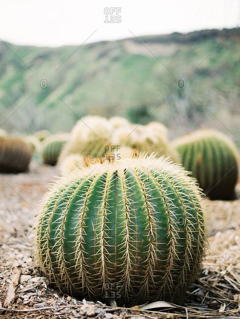 Barrel cactus on stony ground