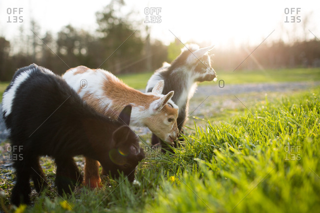Three baby goats grazing bathed in morning sunlight