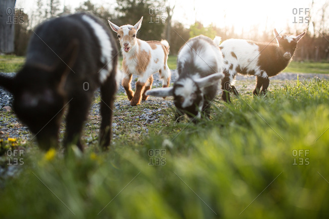 Small group of baby goats nibbling at grass on side of track