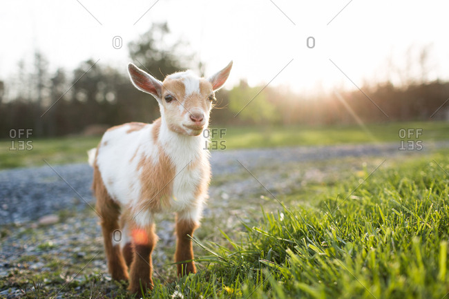 Little baby goat looking around for his friends