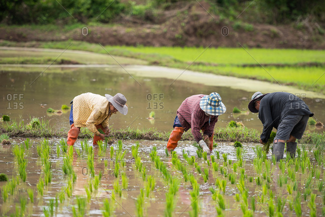 April 22, 2018: Farmers in the rice plantation in Chiang Rai, Thailand