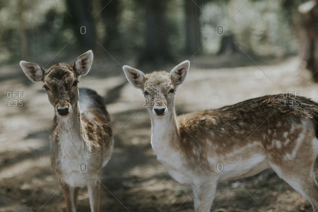 Pair of fawns standing still in woods