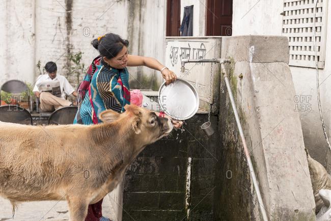 Kathmandu, Nepal - May 10, 2012: Cow drinking water, Pashupatinath Temple, Nepal