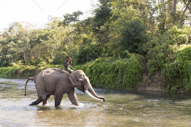 Nepal - June 9, 2012: Working Elephant in the river, Chitwan National Park, Nepal