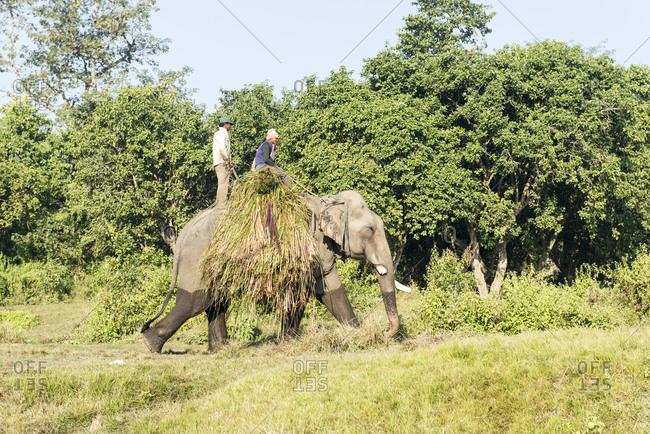 Nepal - June 10, 2012: Working Elephant, Chitwan National Park, Nepal