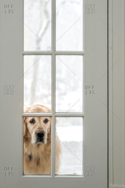 Golden Retriever looking inside through window
