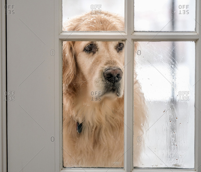 Close up of a Golden Retriever looking inside through window